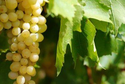 Perth [day six] Vineyards