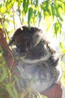 Perth [day four] koala