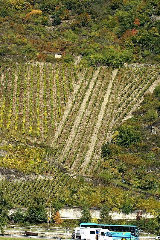 Vineyard near Loreley - Land Rheinland-Pfalz