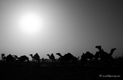 camel market Khartoum II