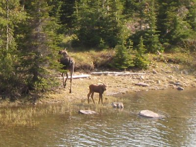 Moose_Calf.jpg