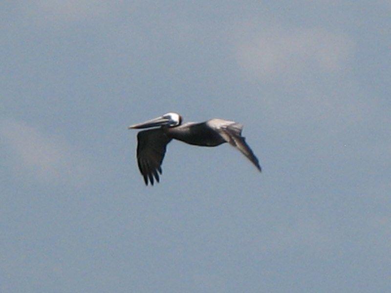 large_Pelican.jpg