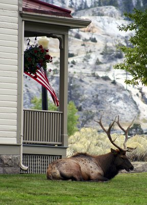 An American Elk