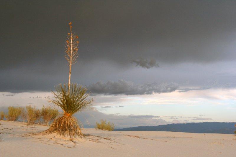Stormy Yucca