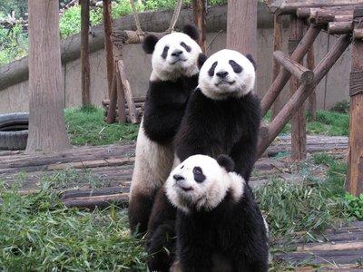 Panda buddies
