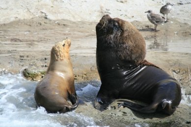 Sea lion and mate