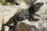 Iguana_at_Tulum.jpg