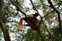 mad13_red_lemur.jpg