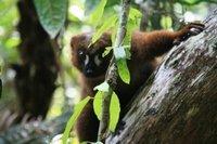 mad17_redb..d_lemur.jpg