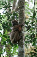 mad21_woolly_lemur.jpg
