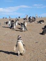 penguins_a..dellena.jpg
