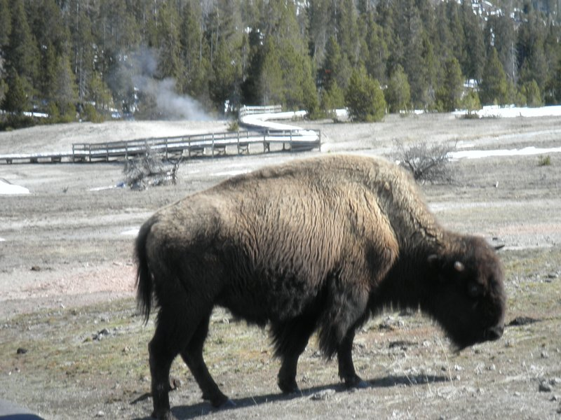 Right next to the bison--by mistake
