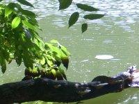 Caiman on branch  - Waterfowl trust in Trinidad