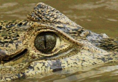 croc_eyes.jpg