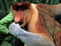 Borneo-Pro..-Monkey.jpg