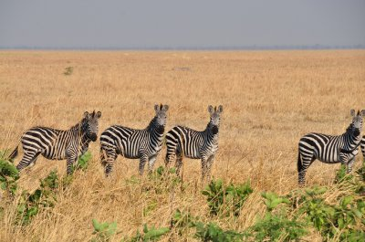 Healthy zeberas