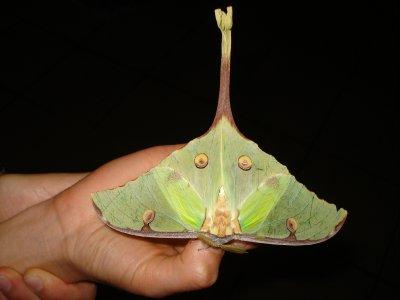 Leafy_moth.jpg