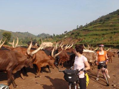 Herd of Cows in Uganda with BIG horns