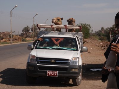 Camels in a backies