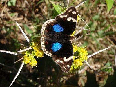pansey_butterfly.jpg