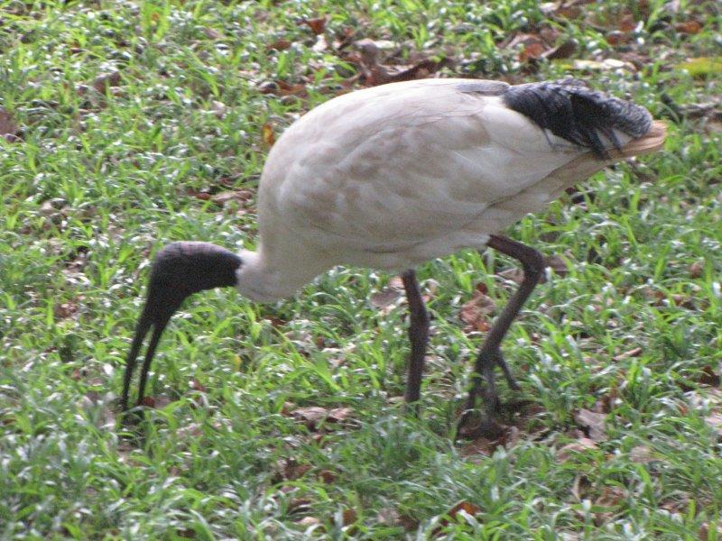 Un oiseau long bec taylor square australia for Oiseau a long bec