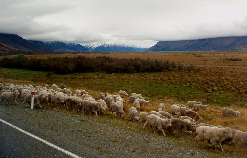 Sheep crossing the road near Mt. Cook