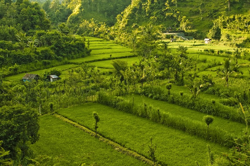 Typical rice field in Bali