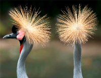 Close up of two African Crowned Cranes, one in Profile and one from behind.
