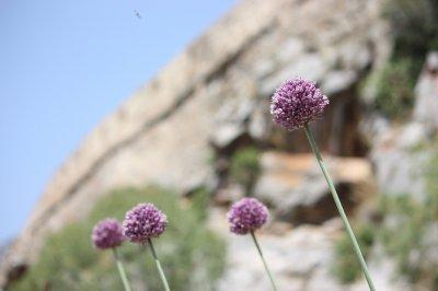 Purple Flowers on Spinalonga Island, Crete
