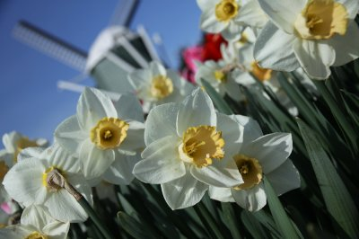 Tulips 010