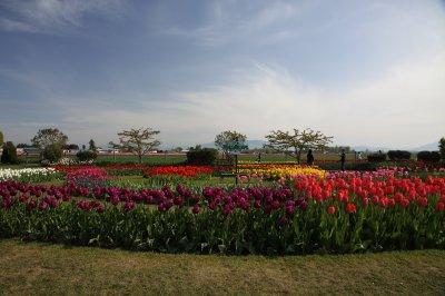 Tulips 017
