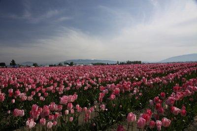 Tulips 030
