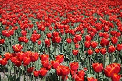Tulips 052