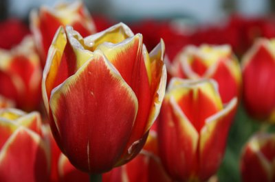 Tulips 061