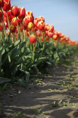 Tulips 067