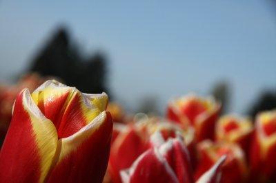 Tulips 076