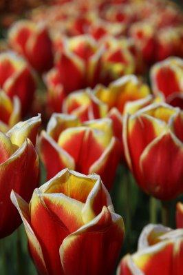 Tulips 087