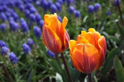Tulips 095