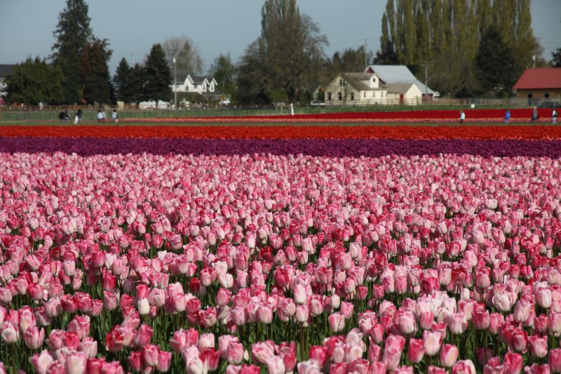 Tulips 048