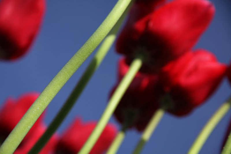 Tulips 072