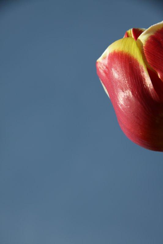 Tulips 074