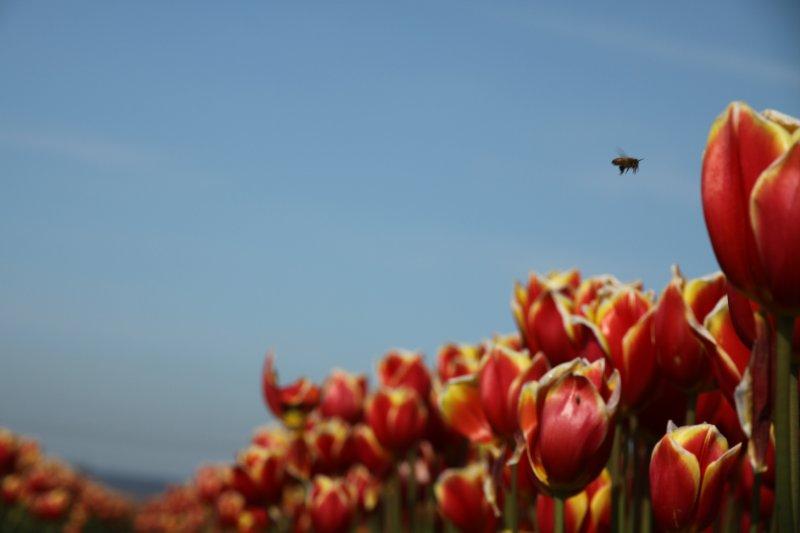 Tulips 081