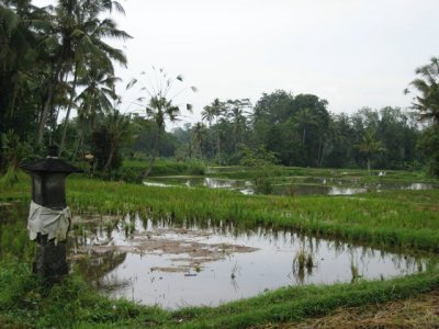Rice_Fields.jpg