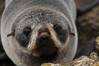 Baby_fur_seal.jpg
