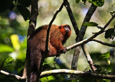 Brown_Capuchin_Monkey.jpg