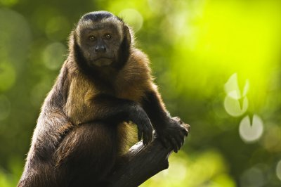 Brown capuchin monkey hanging around on a stick