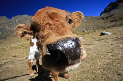Day_4_-_Cow1.jpg