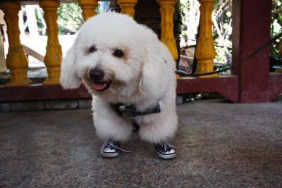 This photo answers the age old question on whether dogs should wear shoes...