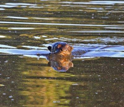 Giant River Otter 1