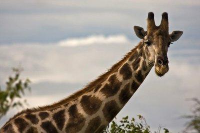 Giraffe_head.jpg